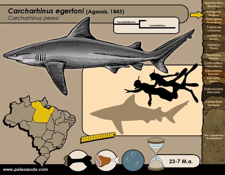 Carcharhinus egertoni