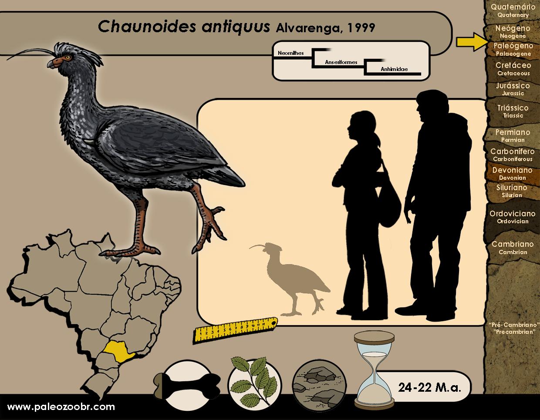 Chaunoides antiquus