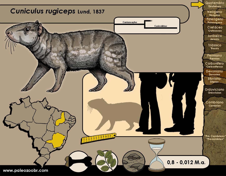 Cuniculus rugiceps