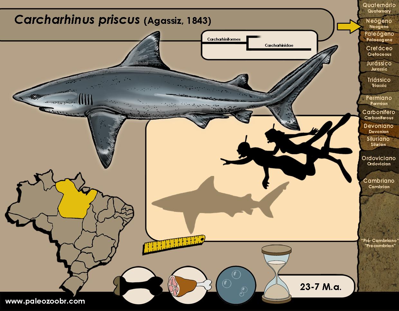 Carcharhinus priscus