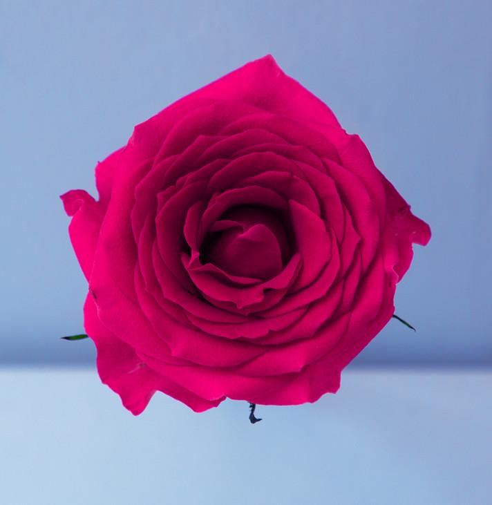 ורד, 2018.jpg