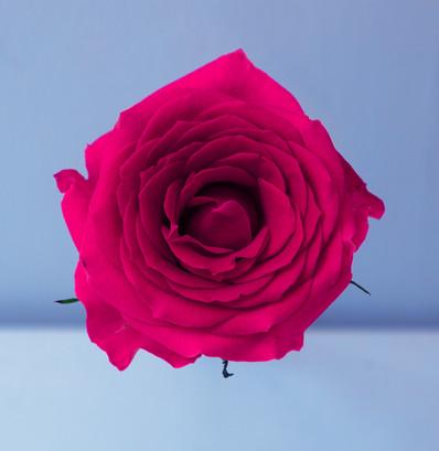 Rose, 2017
