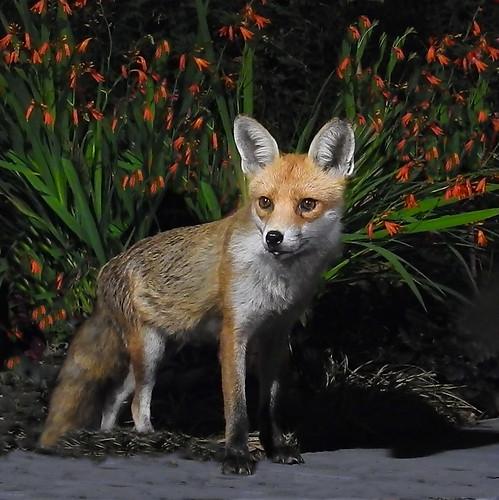 Foxy Loxy