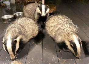 Badger family come to dinner every night