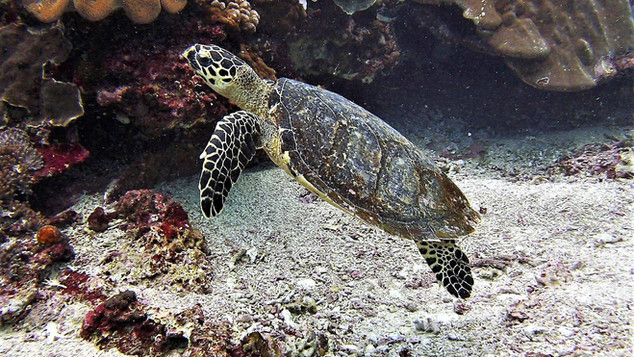 Turtle Bali - Tortue Bali