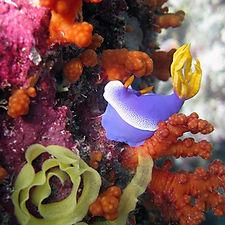 Nudibranche Padang Bay