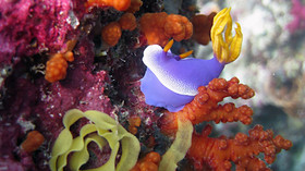 Nudibranchs Bali -Nudibranche