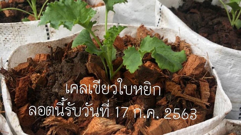 Organic Kale Plant