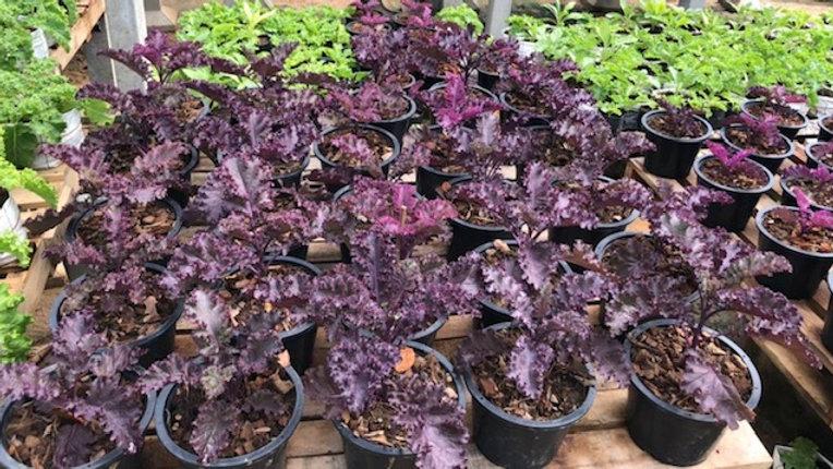 Purple Kale Plant