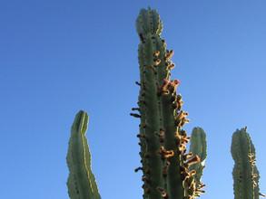 Kathryn Bechen Arizona Cactus