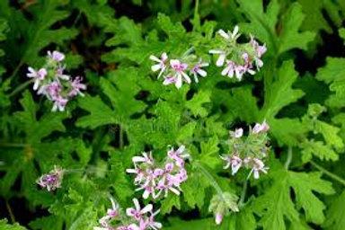 Essential oil of Rose Geranium