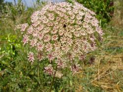Daucus flower