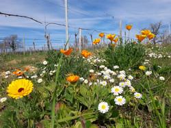 Les jachères fleuries