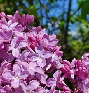 Lombard Lilacs