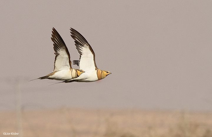 flyingfridge / Pin Tailed Sandgrouse/ l kislev