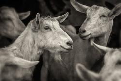 lindale goats_2016_07