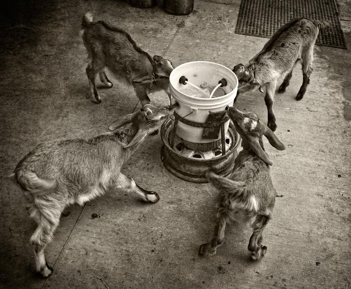 goat kids_3