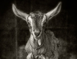 goat kid_hay_bw_edited
