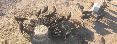 Kia Ora Stud feeder cattle around a round bale of hay
