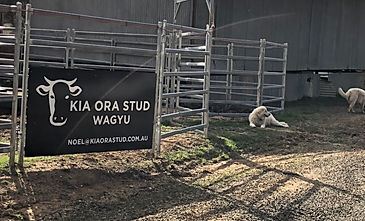 Kia Ora Stud, Bungendore, New South Wales, Wagyu, KOS Aussie Beef