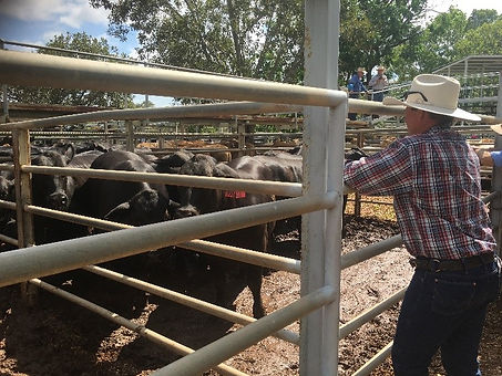 Michael Silvester buying cattle at Clermont Saleyards