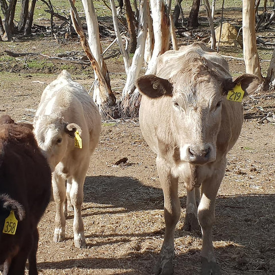 Mixed Breed Cows and Calves
