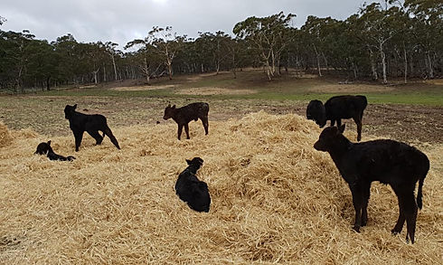 Kia Ora Stud calves laying and playing on a roundbale of hay
