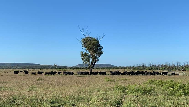 Forest Hills Brangus Stud cows and calves in the Bottle Tree paddock at Forest Hills