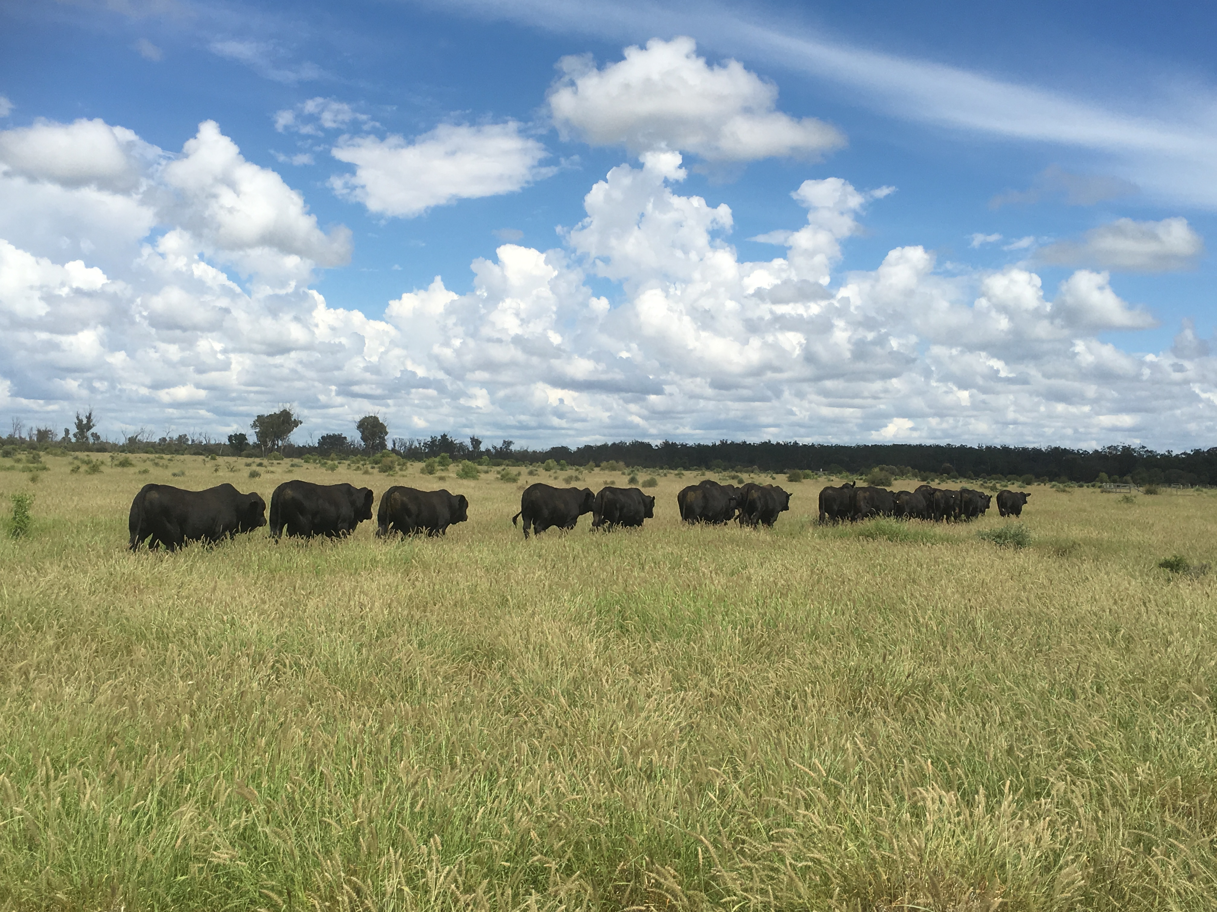 Forest Hills Brangus Bulls