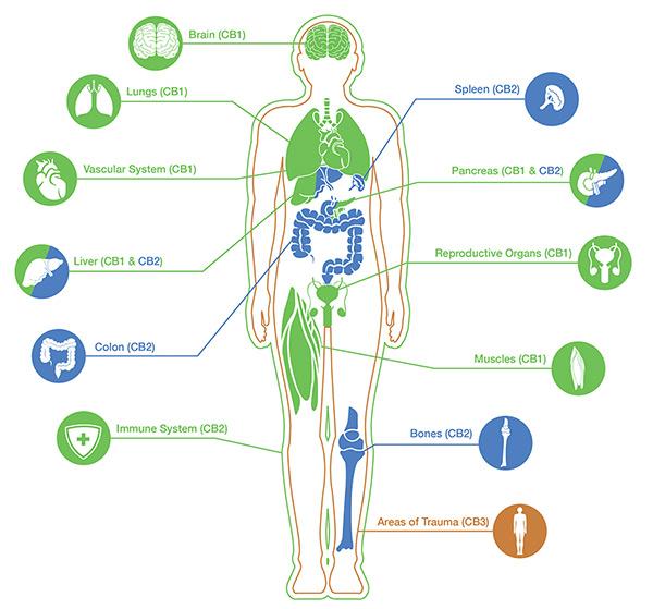 ECS human diagram
