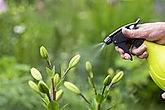 tea plant spray.jpg