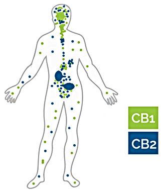 cb1 cb2 receptors.jpg