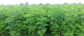I benefici di Moringa oleifera