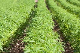 Field of hemp. Cannabis Sativa. Industri