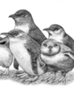 W9 inquisitive - blue fairy penguins - w