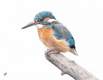 Kingfisher WM.jpg