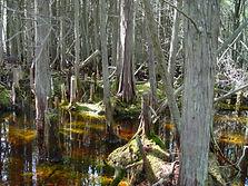Wetland Delineation, Swamp Pink Survey, Endangered Species