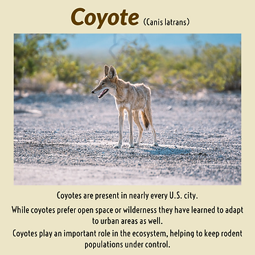 CC02.02.21  Coyote2.png