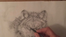 Timber Wolf - sketch
