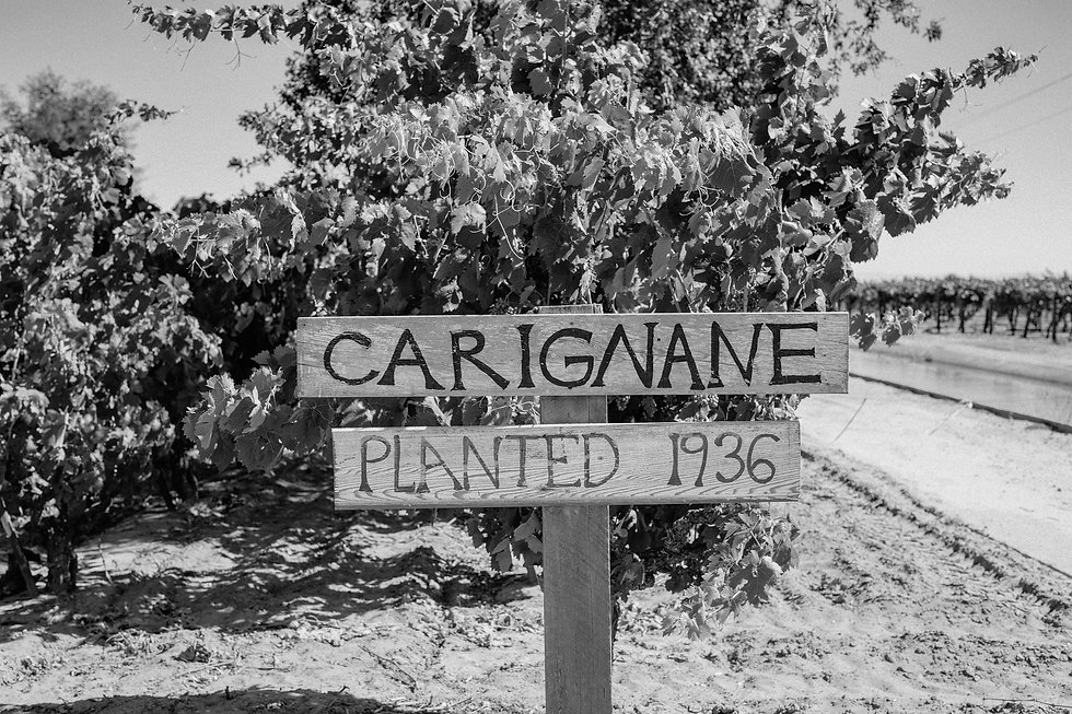 Old vine Carignan vineyard_Lodi Wine_Ste