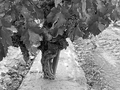 Appreciating endangered ancient vines during National Zinfandel week