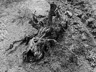 What Lodi can do to slow down the loss of old vine plantings