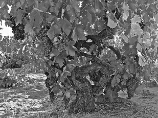 Why ancient vines are so wise, and you should not miss ZinFest's phenomenal Zinfandel Blind Tasting