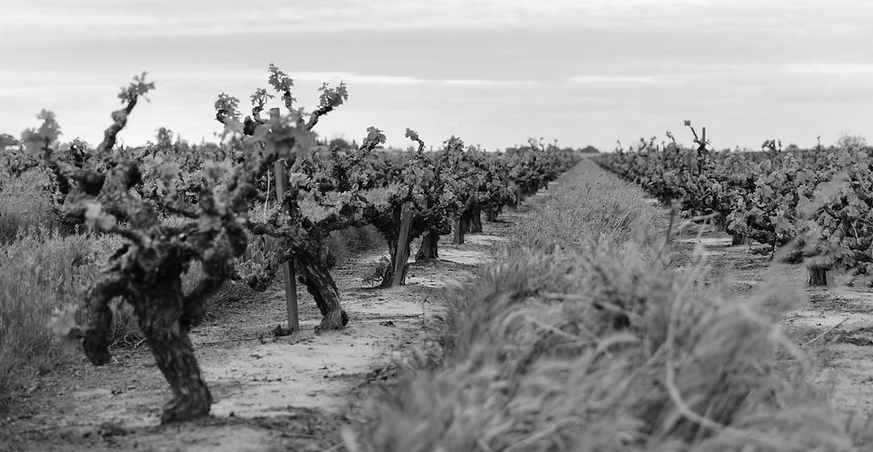 Old vine Zinfandel vineyard_2_Lodi Wine_