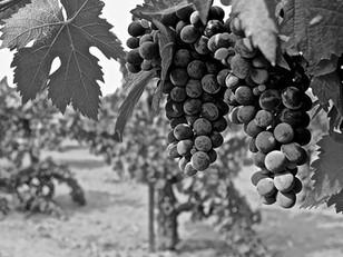 LODI'S single-vineyard wines