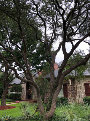 Tree Trimming in Flower Mound Texas_Clea