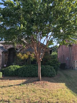 Tree Trimming in Denton Texas_Clean Edge