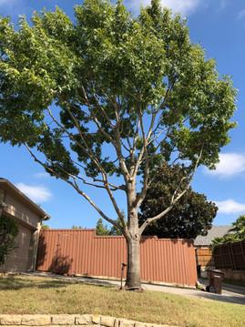Lewisville Tree Prunning_Tree Trimming.j