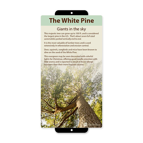 White Pine Giants