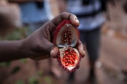 Zanzibar Red Colobos